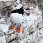 Puffin pic